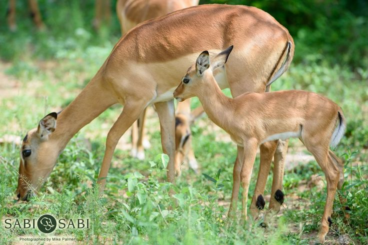 A tiny young impala does well to stay close to its mother's side in the early stages of life.