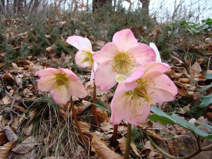 Su nombre cient fico helleborus niger o rosa de navidad for Planta perenne en maceta de invierno