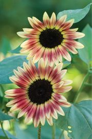 Pinkish sunflower, Helianthus annuus 'Strawberry Blonde F1'. Since it is F1, seeds will not come true.