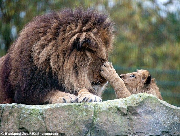 Keepers at Blackpool Zoo have watched with delight as Khari the cub started being cared for by his father, who began playing with the youngster by day and cuddling up to him by night