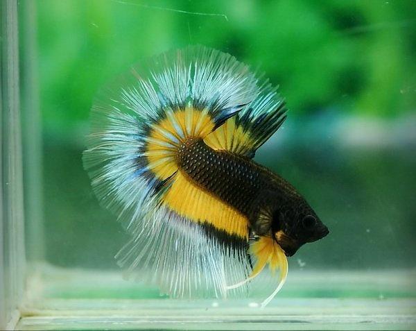 Black And Yellow Betta Fish