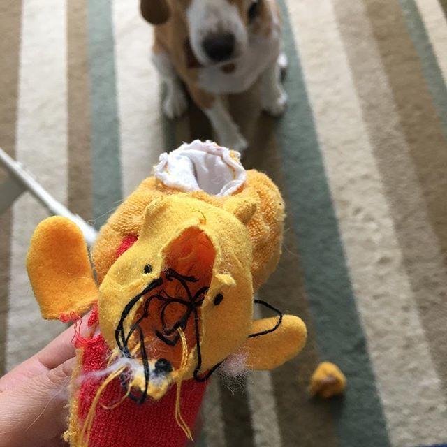 プーさんが可哀想🐶(笑)綿入りのおもちゃは、マクリーにとっては綿を出す遊びをするもの… #プーさん#ビーグル#レモンビーグル#ビーグルレモンカラー#犬#スヌーピー#🐶#beagle#親バカ#垂れ耳#ビーグル1才#愛犬#いぬ部#うちのワンコ#beagleloveit#beaglelover#dog#beagleworld#beaglelife#beaglestagram