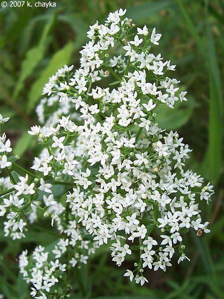 153 best mn native plants images on pinterest