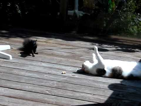 Best Squirrel Video Ideas On Pinterest A Squirrel Choses - Cat squirrel playing cutest thing youll see day
