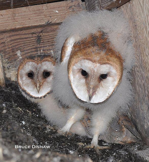 Baby Barn Owls, by Mom&Dad BrucerD)   Flickr