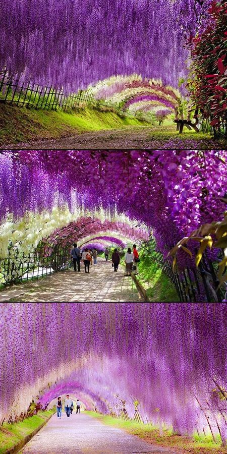 Wow... walking through the Wisteria Flower Tunnel at Japan's Kawachi Fuji Gardens must be like strolling through a fairy-tale. Gorgeous! #travel