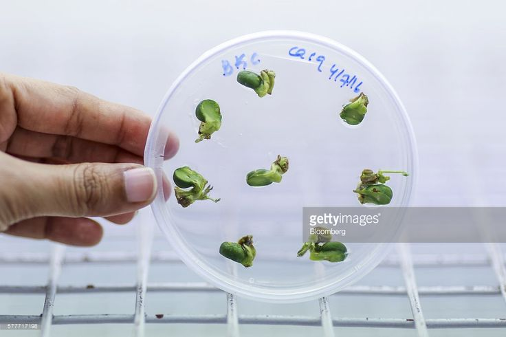 A scientist holds a petri dish containing shoots regenerated from the cotyledon of pigeon peas in a culture room inside the tissue culture facility in the Platform for Translational Research on Transgenic Crops (PTTC) department of the International Crops Research Institute for the Semi-Arid Tropics (ICRISAT) in Patancheru, Telengana, India, on Friday, July 8, 2016. On a campus in southern India, a team of biologists are perfecting a recipe that may solve the nation's inflation woes. By…