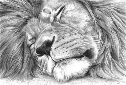 Lion drawing                                                                                                                                                                                 More