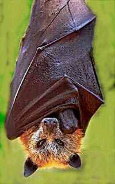 Largest bat in the world. Giant golden crowned flying fox. Body 22in ...