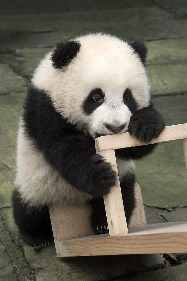 Giant Panda Baby に対する画像結果 Pandakarhu, Panda, Söpö