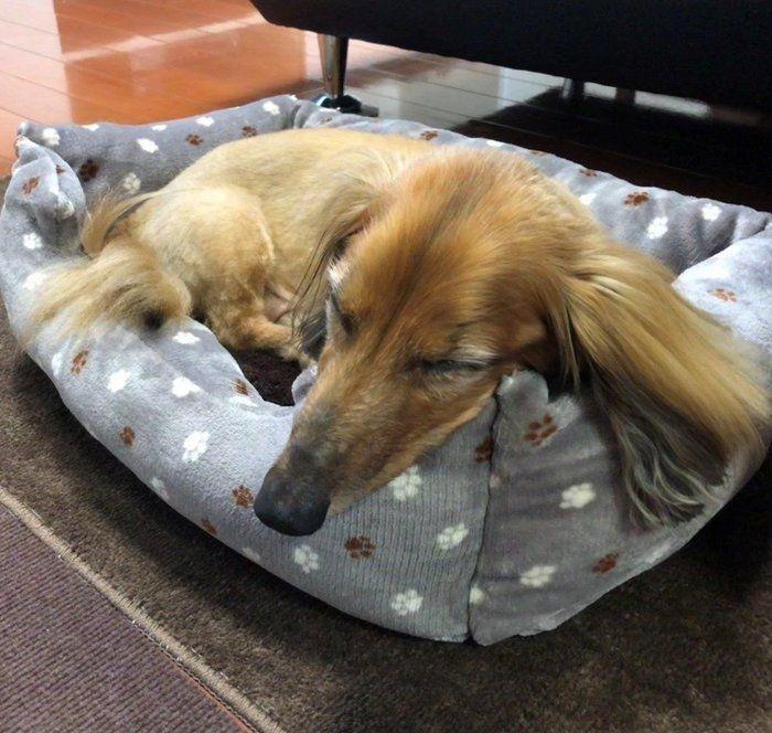 フカフカ感がすごい ダイソーのペットベッドに愛犬も満足 いぬのきもちweb Magazine ペットベッド ペット いぬ
