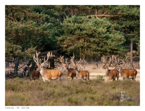 Herten op de Veluwe (zandlandschap)