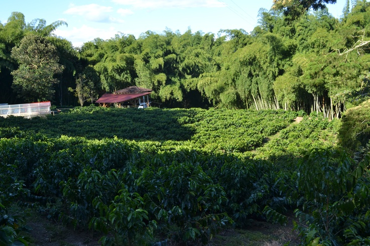 Colombian coffee plantation, Green Colombian landscaping!
