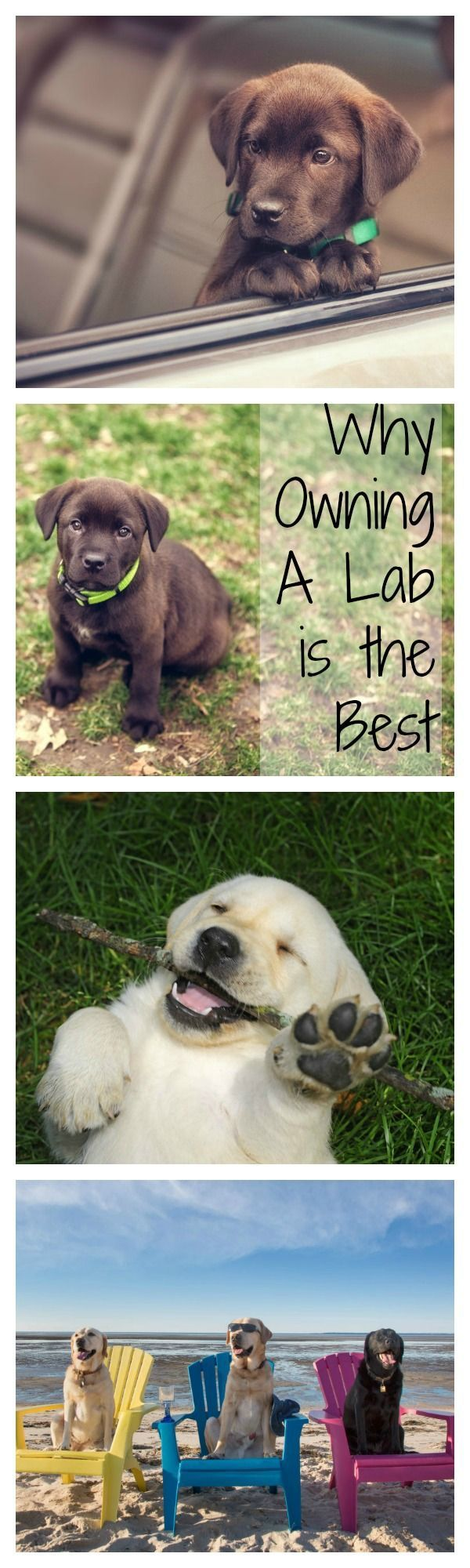 Wondering what type of dog you want to adopt? Well we love all pets and puppies, but here are 16 of the best things about owning a labrador retriever.