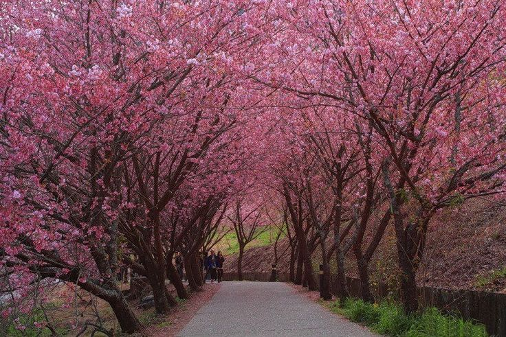 17 best images about cherry blossoms on pinterest trees cherry blossom tree and washington. Black Bedroom Furniture Sets. Home Design Ideas