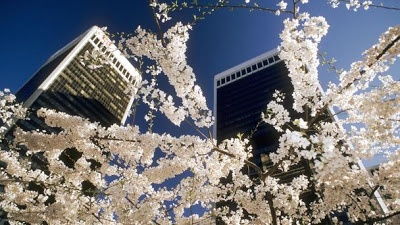 W.W. ~ Flori de cireș în lume.