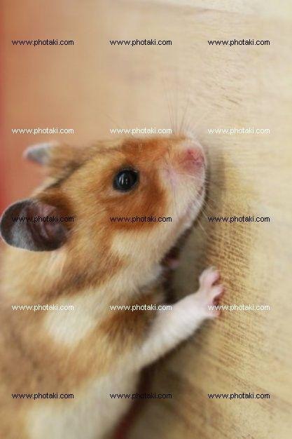 http://www.photaki.com/picture-hamster_1328957.htm