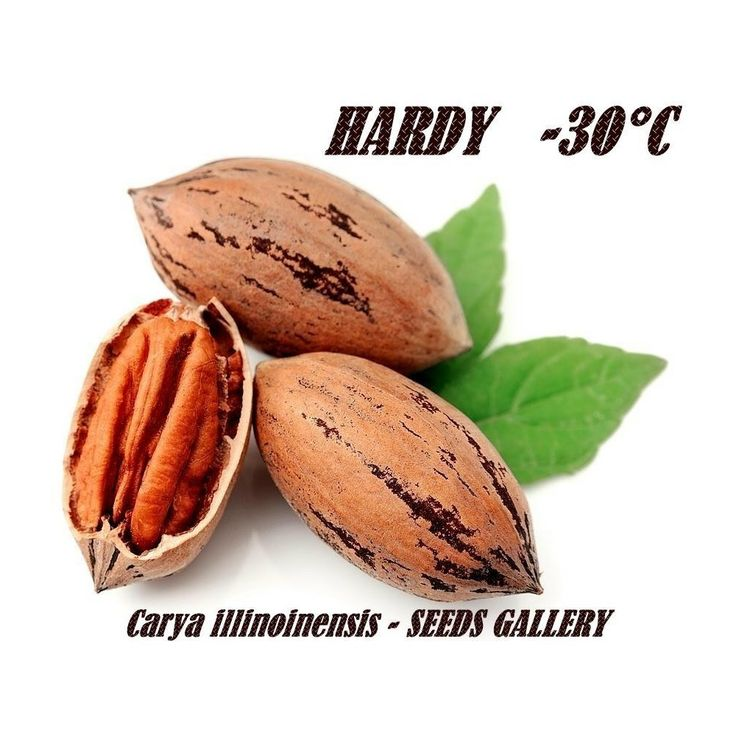 Pecan Seeds (Carya illinoinensis)  4,95€  Pecan Seeds (Carya illinoinensis) Price for Package of 1 seeds. Delicious, buttery yet rich-flavored pecans are one of the popular edible tree nuts known to American aborigines since centuries ago. They are enriched with many health-benefiting nutrients, minerals, vitamins that are essential for optimum health. Pecan is a large sized deciduous tree belonging to the member