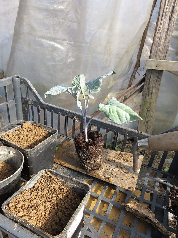 Ortolano a 30 anni: Il travaso: trapianto in vaso intermedio