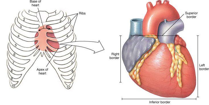 base and apex of heart - google search | coração | pinterest, Cephalic Vein