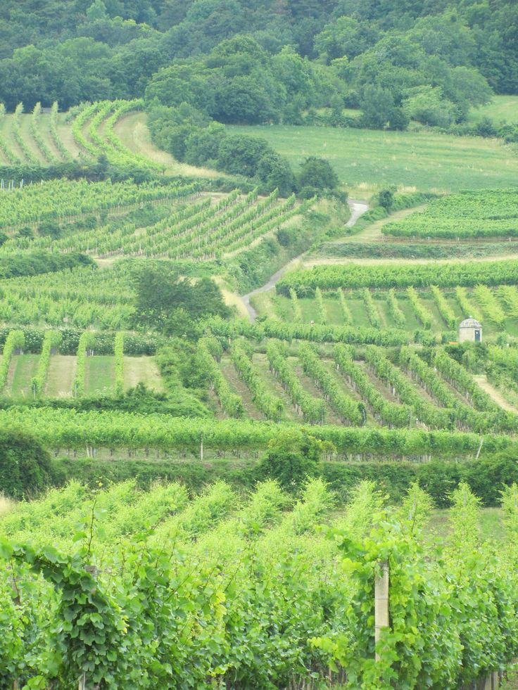 The vineyards outside Vienna