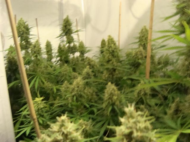 Week 6 of the flowering. The buds are now growing. So much that i'll have to binned almost every branch.