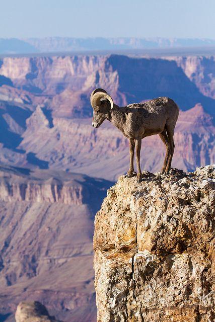 Pondering The Abyss Desert Big Horn Sheep Grand Canyon National Park Arizona