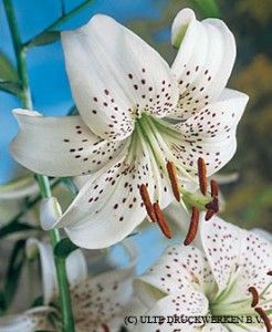Tiger Lily Bulbs White from American Meadows, your trusted source for Lily