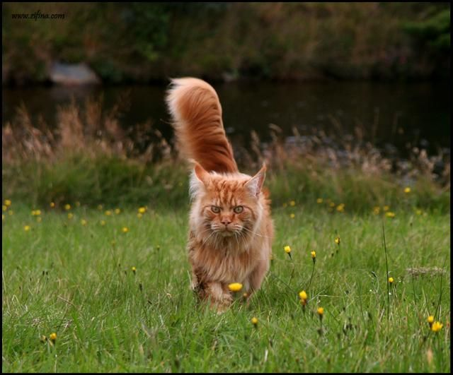 #MaineCoon #Red Solid #Cats Ch. Kashmir of Vingilot *CZ