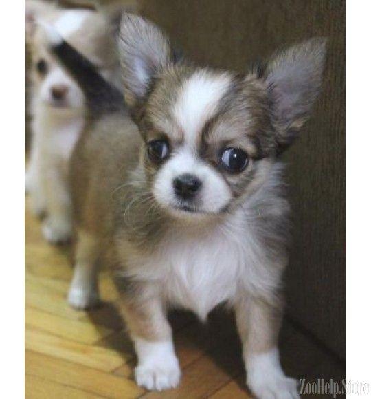 Pin By Dog Lover On Chihuahua Chihuahua Puppies Chihuahua