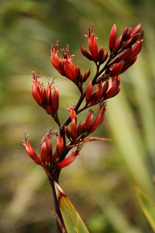 Flax-flower-2469