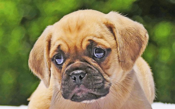 Download wallpapers Puggle, 4k, puppy, dogs, muzzle, cute animals, pets, Puggle Dog