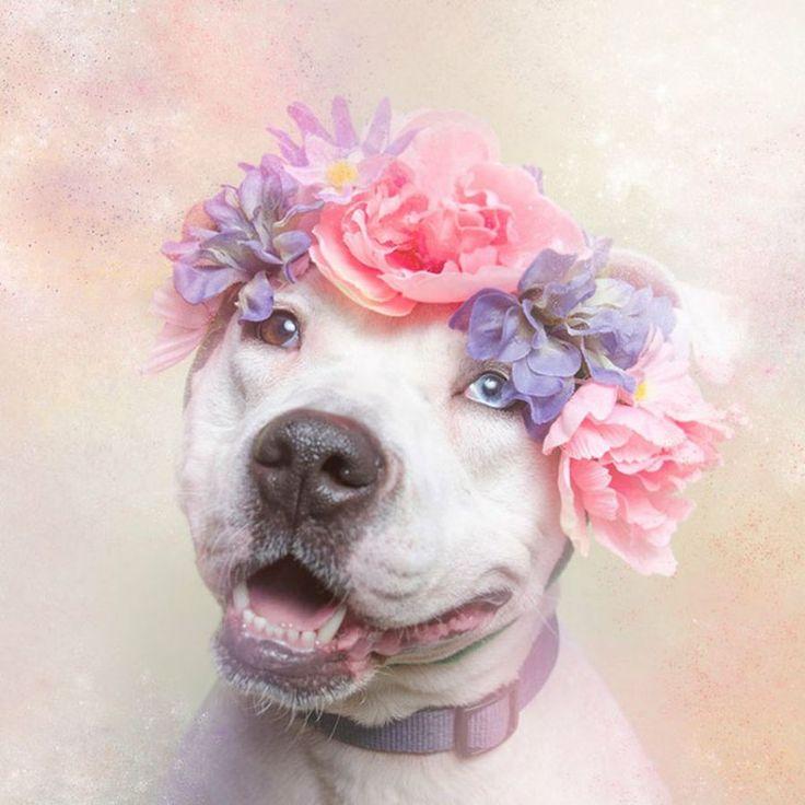 Pitbull, una raza de perros potencialmente... tiernos