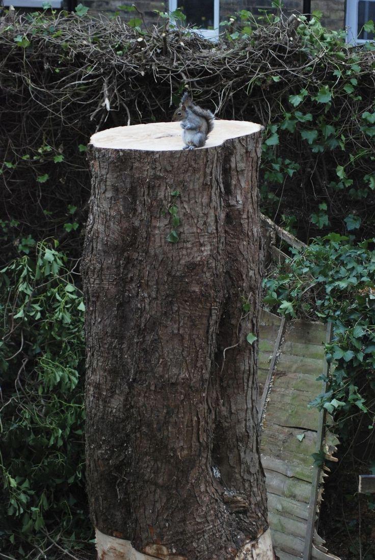 Az Imguron tűnt fel kettő kép egy mókusról, aki visszatért ahhoz a kivágott fához, amin korábban élt. Kattints a folytatásért!