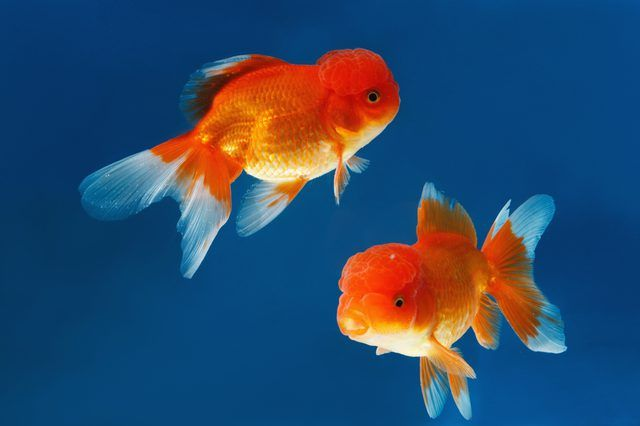 LIST OF FOODS GOLDFISH CAN EAT Commercial goldfish food provides the vitamins, minerals, fats, carbohydrates and proteins goldfish need, but feeding them other foods adds interest and variety to their diets.