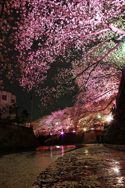 Gumyoji night sakura Yokohama Japan - Cherry blossoms are one of my favorite images of childhood in DC. Worth the occasional sneeze!