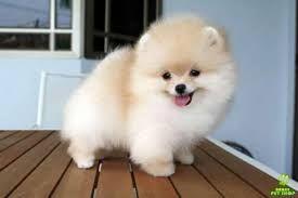 Resultado de imagen para fotos perros pomerania lulu miniatura