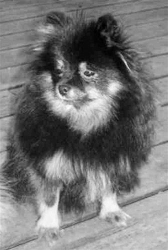 This small Pomeranian owned by Elizabeth Rothschild from Watkins Glen, N.Y., survived the sinking of the Titanic.