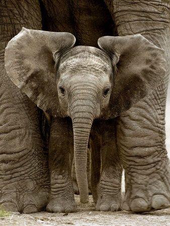 Baby Elephant baby-animals