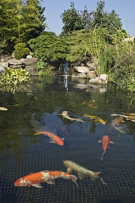 The koipond at our retail store covered with for Koi fish predators