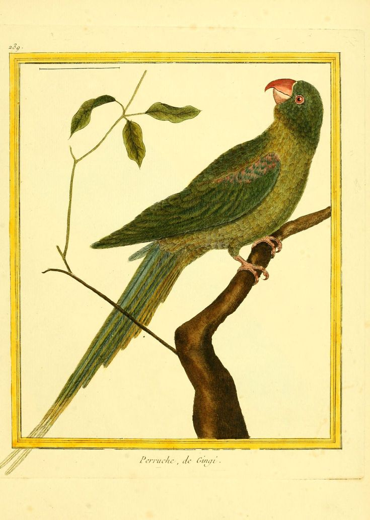 gravures oiseaux Buffon- - Gravures oiseaux Buffon 239 - perruche de gingi - Gravures, illustrations, dessins, images