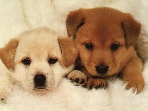 Signs of diabetes in puppies adn dogs
