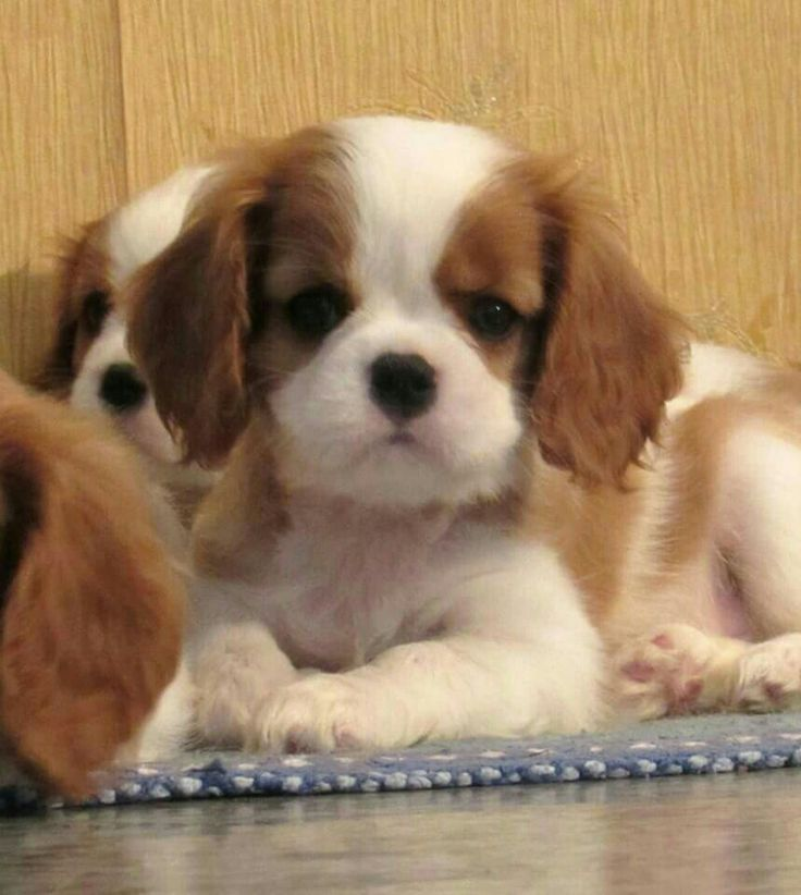 Download Cavalier Brown Adorable Dog - 1ae1be07d85160fd6ca4589ef37eb93f--boh-mika  Pictures_92237  .jpg