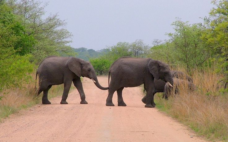 A group of elephants cross a dirt road in front of our car at Kruger National Park.