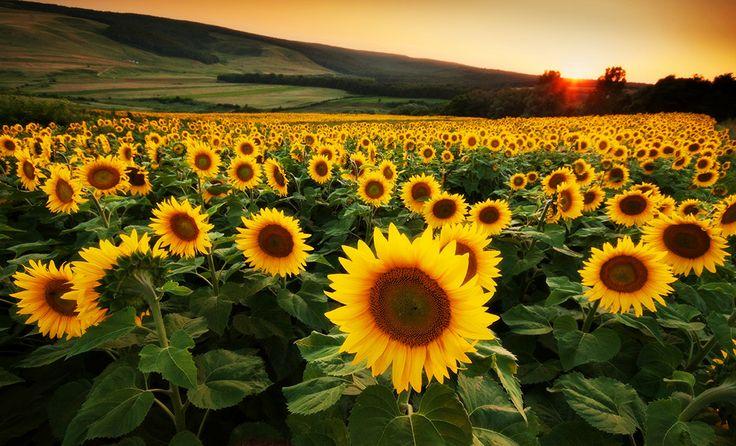 Wonderful sunflower field, somewhere in the North Eastern Romania