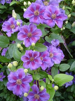 Clematis Ashva Ful Sun To Part Shade 5 39 Climber For