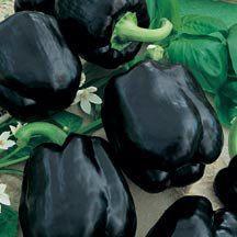 'Merlot' bell pepper