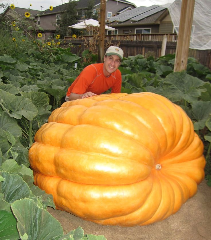 Giant Pumpkin Growing Tips From The Pumpkin Man. Kaleb really wants an even bigger pumpkin this year.