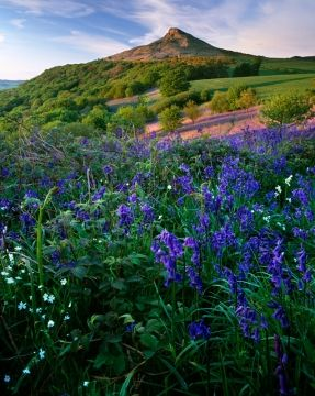Brambles and bluebells, Roseberry Topping, North Yorkshire Moors, England