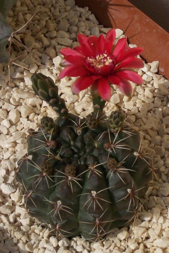 Atrevido cactus